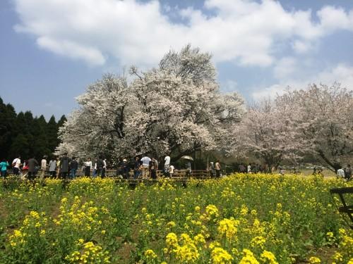 南阿蘇一心行くの桜 (1)