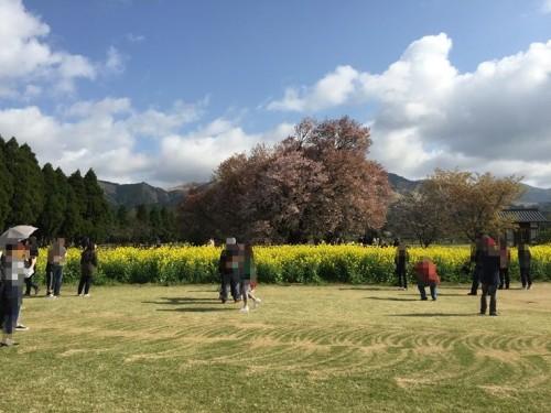 一心行の大桜3